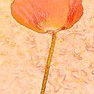 Orange poppy by Sandra O'Connor
