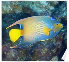 Queen Angelfish Poster