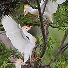 Cattle Egrets in Dispute by Bonnie T.  Barry