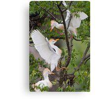 Cattle Egrets in Dispute Canvas Print