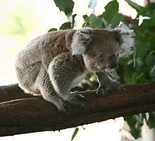Wanna jump koala by yelys