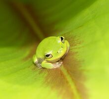Ginger Frog by Bob Hardy