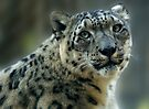 Snow Leopard by Sandy Keeton