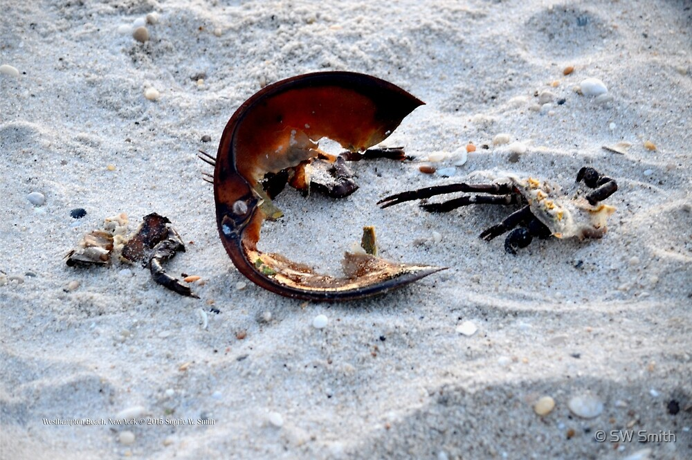 Horseshoe Crab Remains   Westhampton Beach, New York  by © Sophie W. Smith