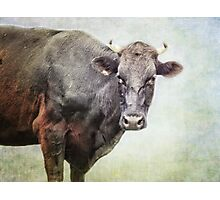 Curious Cow Photographic Print