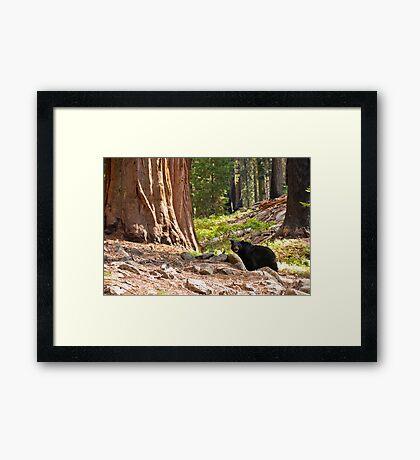 Black Bear in Giant Sequoia Forest Framed Print