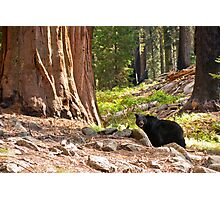 Black Bear in Giant Sequoia Forest Photographic Print