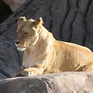 Lioness by David Shaw