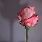 Rose Shadow by gamaree L