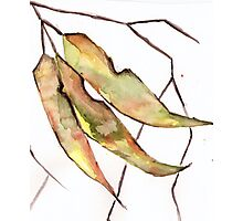 Gum Leaves Photographic Print