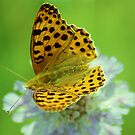 High brown fritillary butterfly by Meeli Sonn