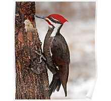 hungry pileated woodpecker Poster