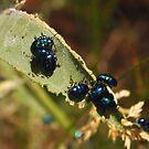 Milkweed Beetles by CherylBee