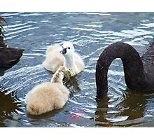 Cygnets 3 Photographic Print