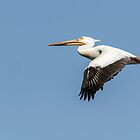 White Pelican 4-2015 by Thomas Young