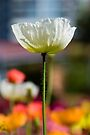 Tall Poppy by Renee Hubbard Fine Art Photography