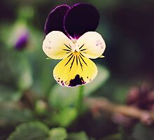 Garden Pansy by Dominique Wiese