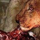 Lion kill by philippeB
