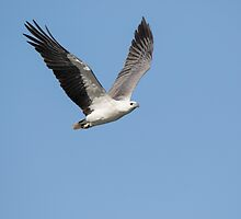 White Bellied Sea Eagle by JayWolfImages