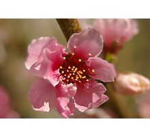 apricot bloom Photographic Print