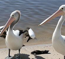 Pelican Pair by Robyn Williams