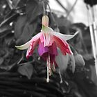 Fuchsia by Chrispy1953