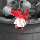 Fuchsia 2 by Chrispy1953