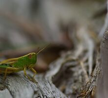 Grasshopper by Régis Charpentier