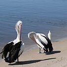 Preening Pelicans by Robyn Williams