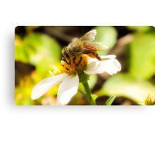 Bee on Beggar's Tick  Canvas Print