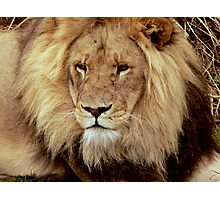 Lion at Melbourne Zoo  Photographic Print