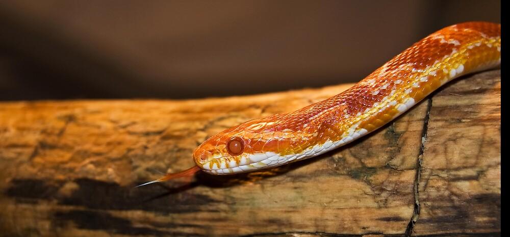 Corn snake by Nick Potts
