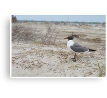 Laughing Gull on Beach Canvas Print