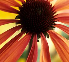 Echinacea 'Summer Sky' by John Glover