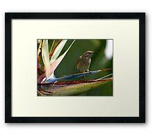 Little Honey Eater Framed Print