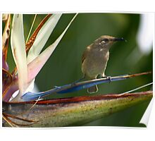 Little Honey Eater Poster
