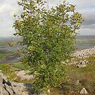 Burren Tree by John Quinn