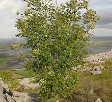 Burren Tree by John Quinn