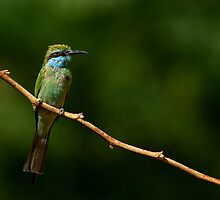 Little Green Bee-Eater by David Clark