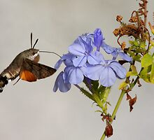 Hummingbird Hawk Moth by Richard Hanley www.scotland-postcards.com