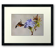 Hummingbird Hawk Moth Framed Print