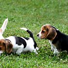 Beagle Puppies on Alert by Peggy Berger