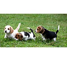 Beagle Puppies on Alert Photographic Print