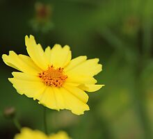 Floating Coreopsis by jenndes