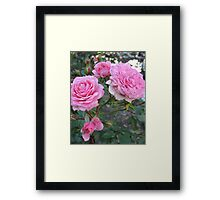 Pink Cabbage Patch Roses Framed Print