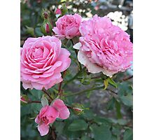 Pink Cabbage Patch Roses Photographic Print