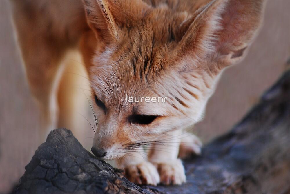 Bat Eared Fox by laureenr