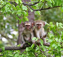 Baby Vervet  Monkeys by Jared Bloom