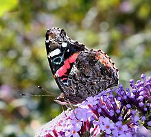 'Red Admiral' by Scott Bricker