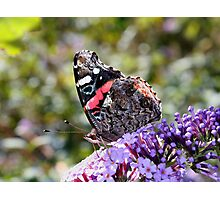 'Red Admiral' Photographic Print